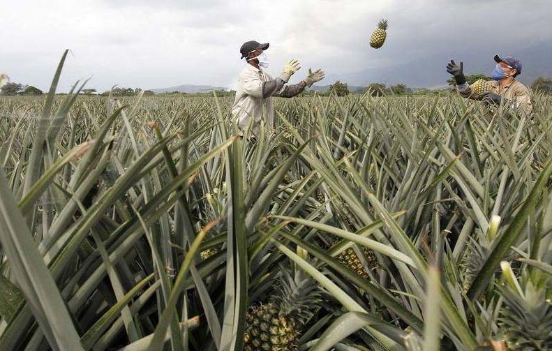 Pineapple crop. Photography: Jaime Saldarriaga